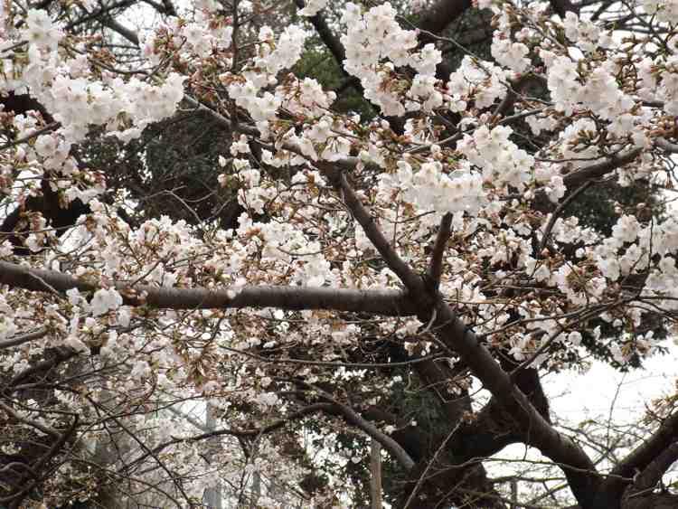 花見 – Hanami 2018 – Roji – Japanischer Garten in Bartschendorf